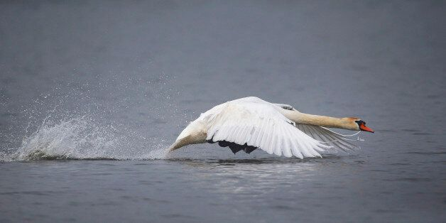A swan takes off from a lake on a foggy day near the village of Vyazyn, 65 km ( 40 miles ) north of the...