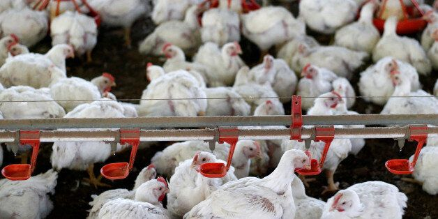 Chicken are pictured at a poultry factory in Lapa city, Parana state, Brazil, May 31, 2016. REUTERS/Rodolfo