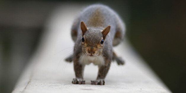 A squirrel stands in Valentino Park in Turin, on November 18, 2016. / AFP / MARCO BERTORELLO (Photo credit...