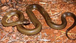 Δύο δηλητηριώδη βασιλικά καφέ φίδια παλεύουν ή κάνουν έρωτα; Φρενίτιδα στο