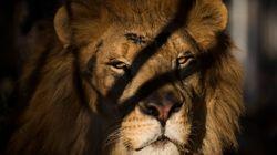 Λιοντάρι σκότωσε θηριοδαμαστή κατά τη διάρκεια παράστασης τσίρκου στην