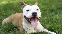 Pitbulls: les vétérinaires interpellent la Ville de