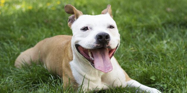 Cute American Staffordshire Terrier playing with a ball. in the