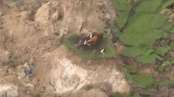 Δύο αγελάδες και ένα μοσχαράκι εγκλωβίστηκαν σε υπερυψωμένη νησίδα μετά τον σεισμό της Ν.