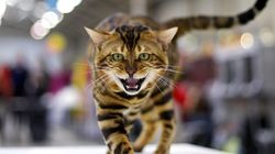 Οι Βρετανοί φοβούνται τα «κτήνη της Βεγγάλης» που επιτίθενται στις γάτες