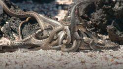 «Θανάσιμη καταδίωξη 2»: Το BBC έδειξε νέες, ακόμα πιο εντυπωσιακές σκηνές κυνηγιού ιγκουάνα από φίδια για το Planet Earth