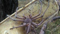 Mια γυναίκα από την Αυστραλία φωτογράφισε τη μεγαλύτερη αράχνη που έχετε δει