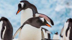 Ένας πιγκουίνος γυρίζει σπίτι και βρίσκει τη γυναίκα του με άλλον. Και μετά χύθηκε αίμα