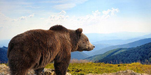 Big brown bear (Ursus arctos) in the