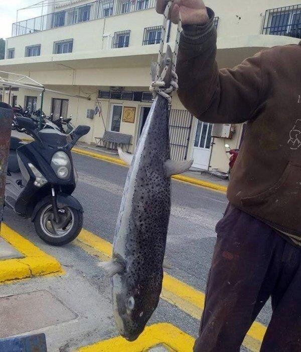 Κρήτη: Έπιασαν τεράστιο λαγοκέφαλο. Ο δεύτερος πιο τοξικός οργανισμός στον