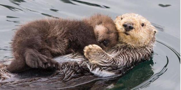 Μαμά βίδρα κρατά ζεστό και στεγνό το μικρό της που κοιμάται. Και το internet