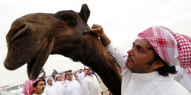 A Saudi man grooms a camel that won a beauty contest during the Mazayin Dhafra Camel Festival in the...