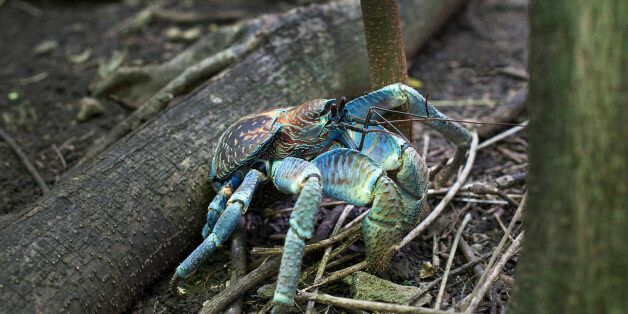 Blue robber crab, Christmas Island,
