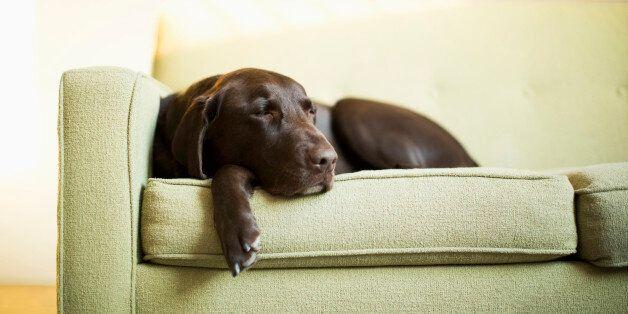Chocolate Labrador resting on