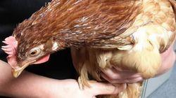 Αστυνομική έρευνα για μια κότα που προσπάθησε να διασχίσει δρόμο στην