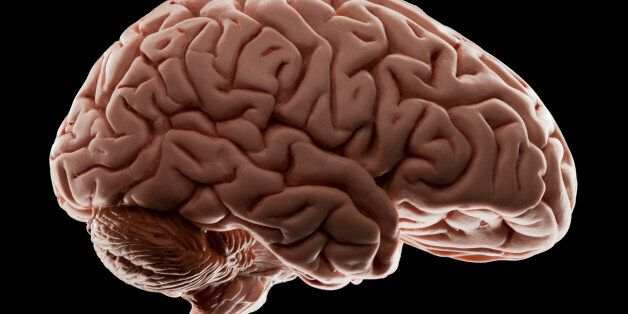 Model of human brain, studio