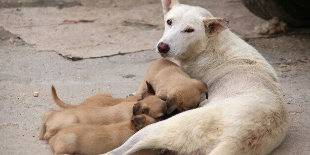 A dog nurses her puppies in Tunis, Tunisia, October 1, 2016. REUTERS/Zoubeir