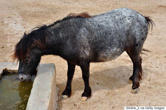 Η αρχαία φυλή των αλόγων του Αχιλλέα και του Αλέξανδρου: Τα μικρόσωμα αλλά δυνατά αλογάκια της