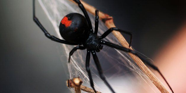 SYDNEY, NSW - JANUARY 23: A Redback Spider is pictured at the Australian Reptile Park January 23, 2006...