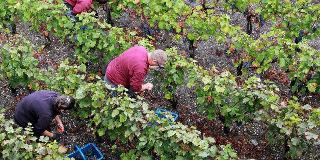 FILE - This Monday, Oct. 8, 2012, file photo shows workers collecting red grapes in the vineyards of...