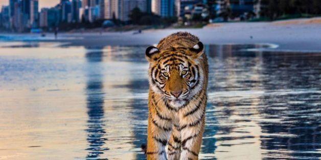 Τι γυρεύει μια τίγρης σε παραλία της