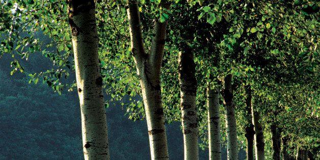 Λεύκες, μουριές, ελιές, μελιές. 776 από τα 1000 δέντρα στο Ρέμα Πικροδάφνης κόβονται προς χάριν της
