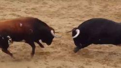 Δύο ταύροι συγκρούονται «μετωπικά» και πεθαίνουν ακαριαία σε αρένα στην