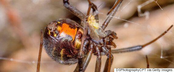 Πώς κάποιες αρσενικές αράχνες- «χήρες» καταφέρνουν να αποφεύγουν τον κανιβαλισμό από τα θηλυκά στο