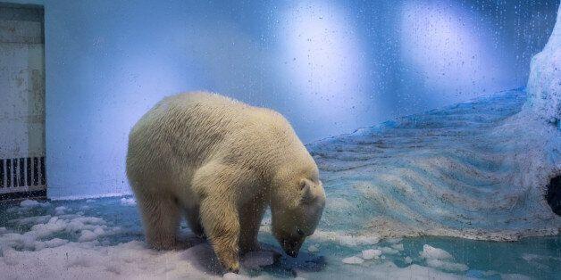 GUANGZHOU, CHINA - JULY 27: Polar bear 'Pizza' at an aquarium in Grandview shopping mall on July 27,...