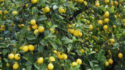 Γιατί τα λεμόνια κατέληξαν να θεωρούνται είδος πολυτελείας στην