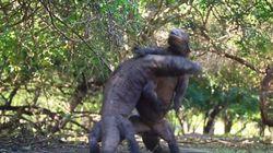 Η απίστευτη πάλη δύο «ρωμαλαίων» δράκων του Κομόντο σε νησί της