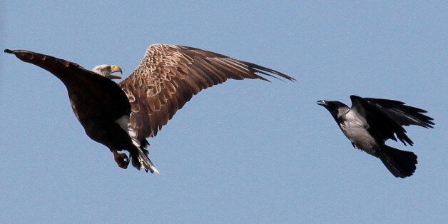 A crow attacks an eagle in an attempt to protect its nest above the Volga river delta, Kazakhstan, April...