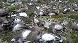 Ασυνήθιστη καταιγίδα σκότωσε 323 ταράνδους στη