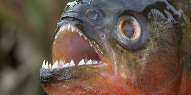 South America ,Brazil, Amazonas state, Manaus, Amazon river basin, along Rio Negro , Red-bellied piranha...