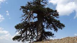 Επιστήμονες ανακάλυψαν το γηραιότερο δέντρο της Ευρώπης και βρίσκεται στην
