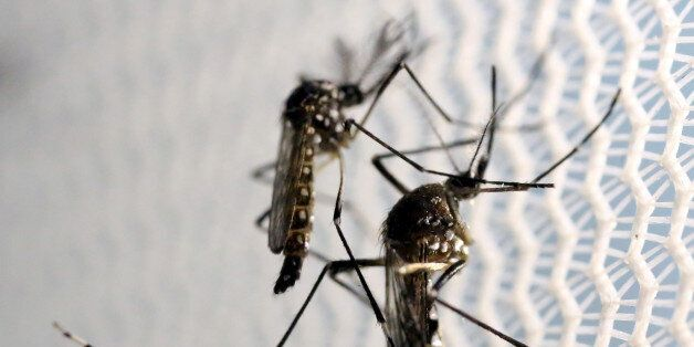 Aedes aegypti mosquitoes are seen inside Oxitec laboratory in Campinas, Brazil, February 2, 2016. REUTERS/Paulo...