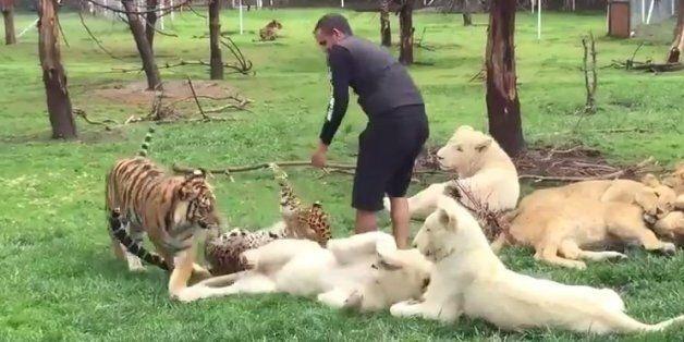 Λεοπάρδαλη ορμά για να τον κατασπαράξει και τον σώζει μία τίγρης. Απίστευτο περιστατικό σε ζωολογικό...