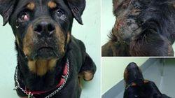 Chien maltraité : la SPCA demande votre aide pour trouver