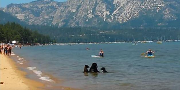 Σπάνιο θέαμα: Αρκούδα κολυμπάει με τα μικρά