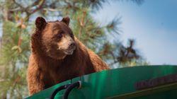 ΗΠΑ: Αρκούδα διένυσε 8 χλμ σε