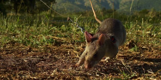 An African giant pouched rat sniffs for traces of landmine explosives at APOPO's training facility in...
