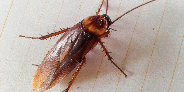 Γάλα κατσαρίδας. Η υπερτροφή του