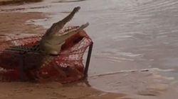 Δύο ψαράδες στην Αυστραλία κατάφεραν να πιάσουν έναν τεράστιο κροκόδειλο σε δίχτυα για