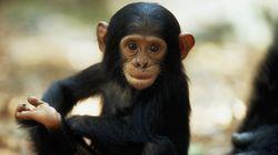 Μπορεί οι χιμπατζήδες να πιστεύουν στο θεό; Η περίεργη τελετουργική συμπεριφορά που κατέγραψαν
