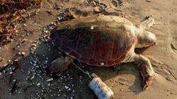 «Μαφιόζικη» θανάτωση χελώνας καρέτα καρέτα στην Νάξο. Πέθανε αργά και βασανιστικά στον