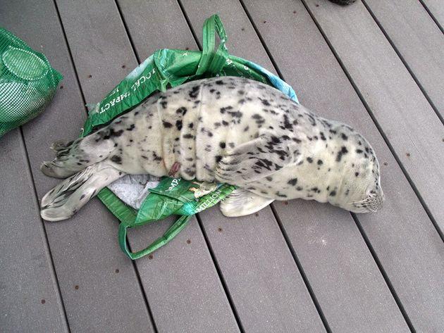 Έβαλε ένα μωρό φώκια σε τσάντα για τα ψώνια και το πήγε σπίτι της... Μετά η μόνη λύση ήταν η