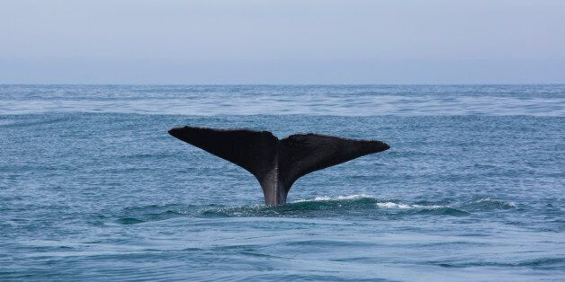The tail flukes of a sperm whale (Physeter macrocephalus) raised above the ocean surface at the start...