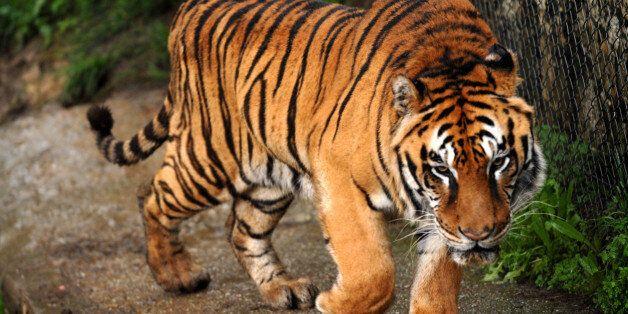 Μετά τον Σήφη και τίγρης στην Κρήτη; Έρευνες για αιλουροειδές που φέρεται να εμφανίστηκε στη