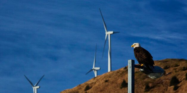 Bald eagle perched on lamp post in downtown Kodiak with wind turbines in background, Southwest