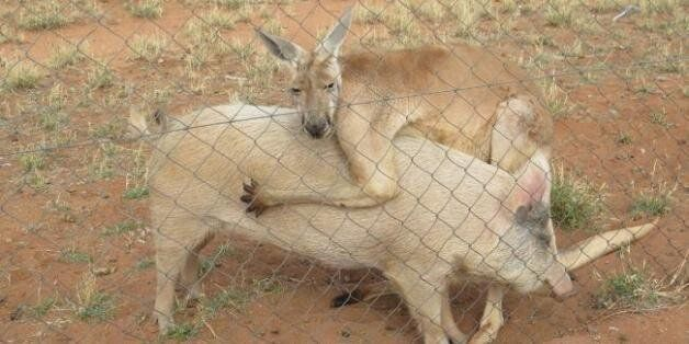 Ένα καγκουρό ερωτεύθηκε ένα γουρούνι στην Αυστραλία και κανείς δεν ξέρει πώς να